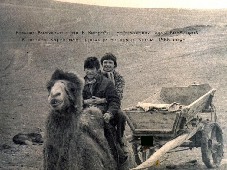 каракумы, работа по чуме верблюдов