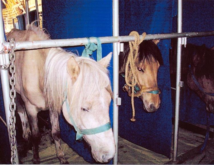 размещение лошадей в самолете ИЛ 76
