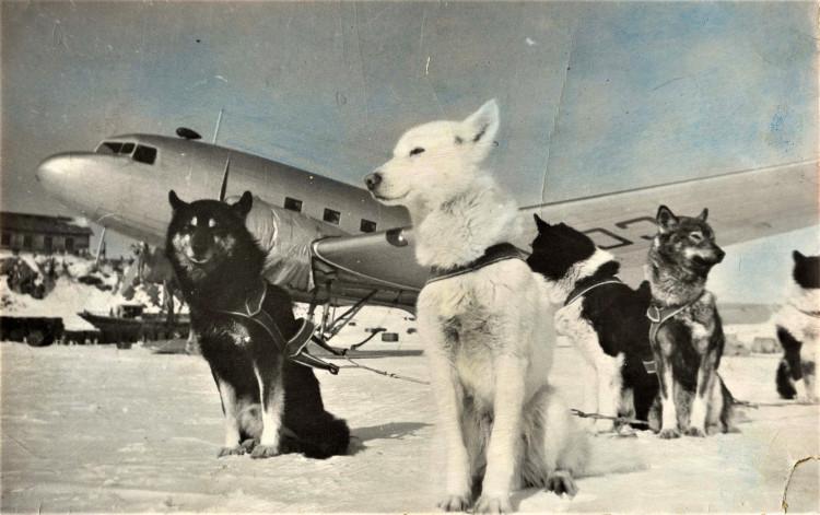 собаки основная тягловая сила в Арктике