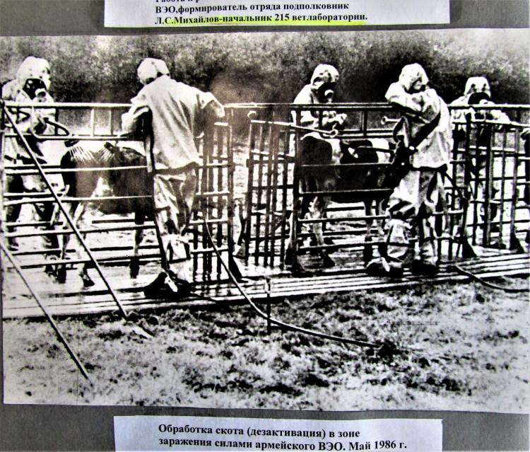 Дезактивация крупного скота силами ВЭО в Чернобыльской зоне. 1986г.